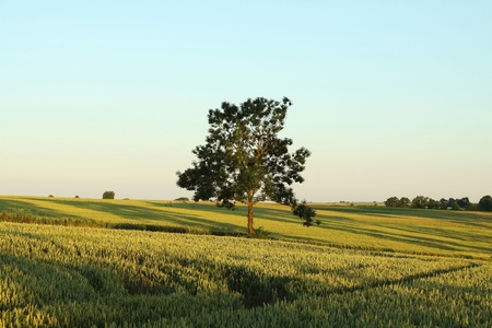 Green tree growing on a hill in the fields of grain photo