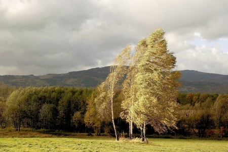 Autumn birches in the mountain scenery on a windy morning with the forest in the background Stock Photo