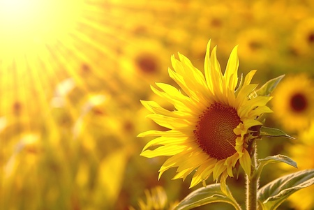 Golden sunflower in the field backlit by the light of the setting sun photo