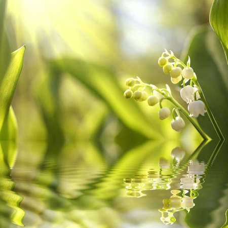 mayflower: Lilly of the valley in the forest Stock Photo