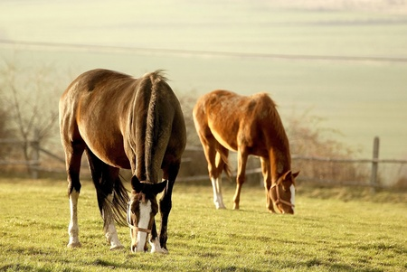 Grazing horses in a field in the light of the setting sun