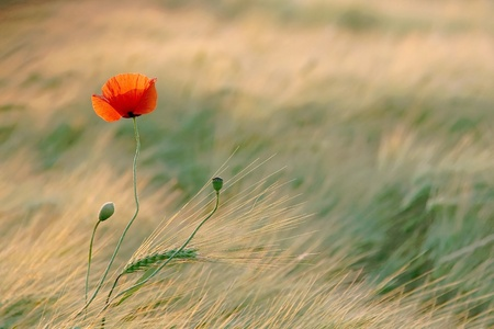 Poppy in the field of wheat backlit by the light of the setting sun photo