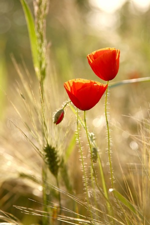 Poppies in the field of wheat backlit by the light of the setting sun photo