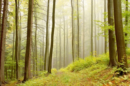 alder tree: Trail in misty autumn forest. Photo taken in the mountains of Central Europe