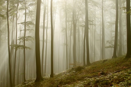 Sunlight entering the beech forest on a misty autumn morning