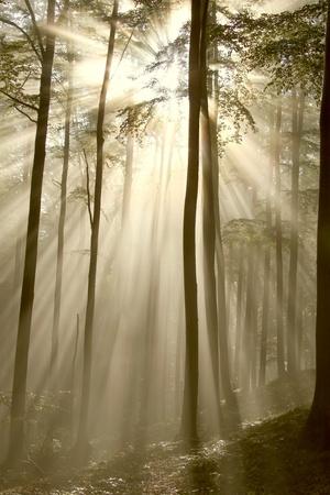 Luz solar entrar en el bosque de hayas en una ma�ana de oto�o brumosa