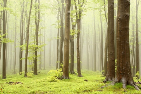 Misty spring beech forest. Photo taken in the mountains of Central Europe