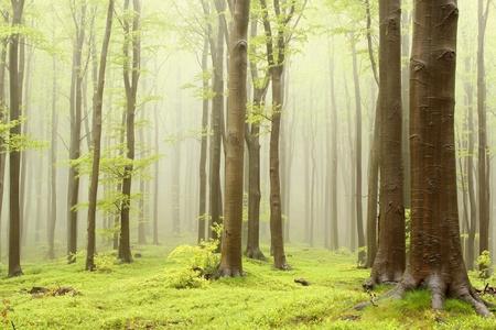 Nebbiosa foresta di faggi primaverili. Foto scattata nelle montagne dell'Europa centrale