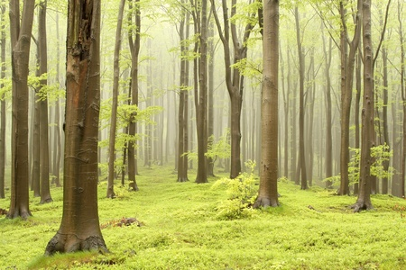 central europe: Misty spring beech forest. Photo taken in the mountains of Central Europe