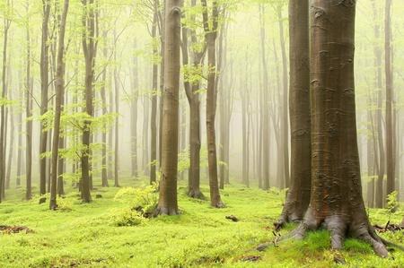 Bosque de hayas de primavera brumoso en una reserva natural. Foto tomada en mayo Foto de archivo