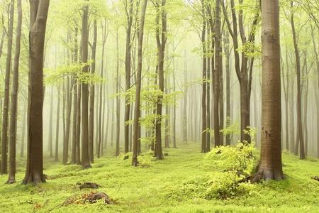 Bosque de hayas de primavera brumoso. Foto tomada en las monta�as de Europa Central Foto de archivo