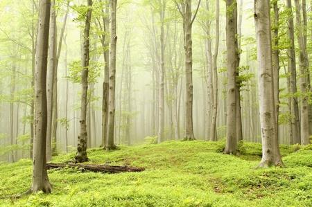 Bosque de hayas brumosa de primavera en una reserva natural. Foto tomada en mayo Foto de archivo