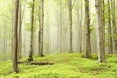 Misty spring beech forest in a nature reserve. Photo taken in May Stock Photo