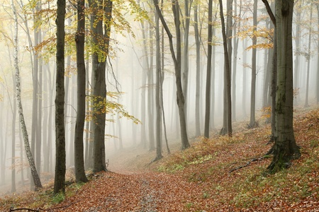 Autumn beech forest on the mountain slope in a nature reserve