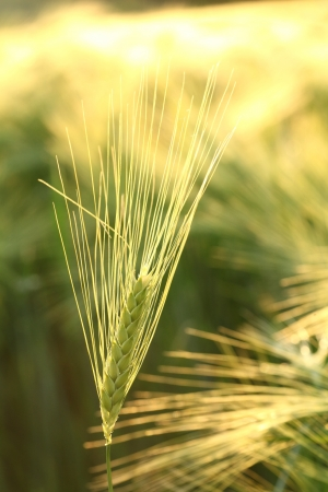 Ear of wheat in the field backlit by the morning sun photo