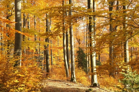 Autumn scenery in the beech forest on a sunny October s morning photo