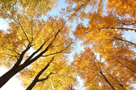 Tree canopy in autumn beech forest against the blue sky photo