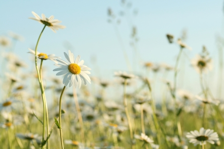 Daisies in the spring meadow against the blue sky photo