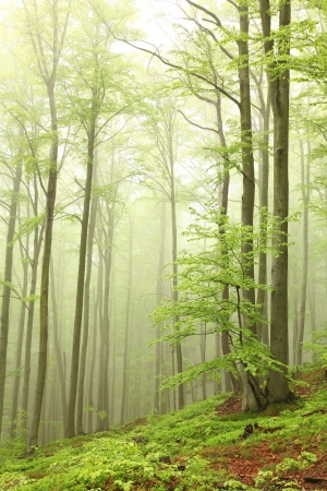 sprinftime: Spring beech forest on the mountain slope in a nature reserve