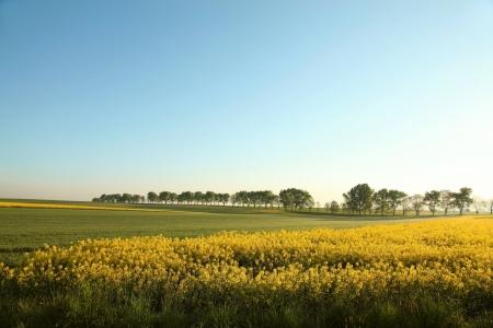 oilseed rape: Rape field on a sunny spring day