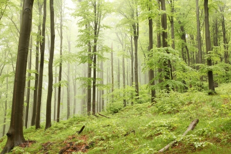 sprinftime: Misty spring beech forest on the mountain slope