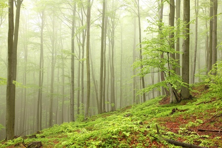 sprinftime: Landscape of beech forest on a foggy spring morning Stock Photo