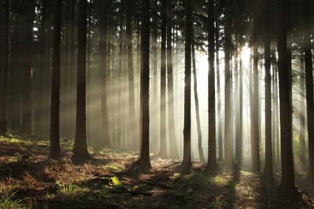 Sunbeams entering coniferous forest on a misty autumnal morning photo