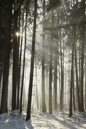 Sunlight enters the coniferous forest on a foggy winter morning photo