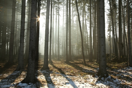 Coniferous forest lit by the morning sun on a foggy early spring day Stock Photo - 14314165