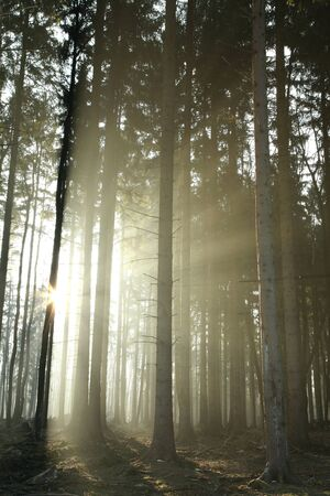 Sunlight enters the coniferous forest on a foggy morning photo