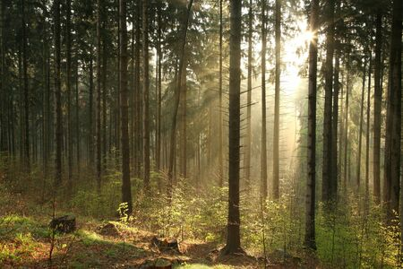 mystery woods: Sunlight enters the coniferous forest on a foggy spring morning Stock Photo