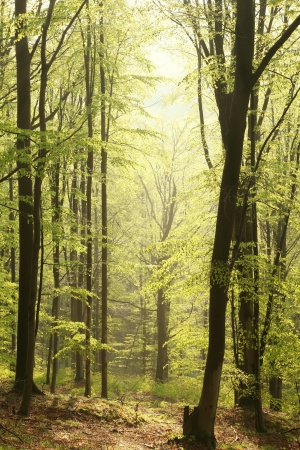 Majestic beech forest in a nature reserve in the spring morning