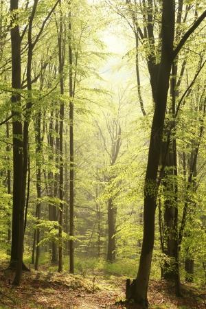 Majestic Buchenwald in einem Naturschutzgebiet in der Frühlingsmorgen Standard-Bild