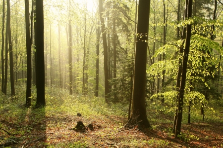 enters: Sunlight enters the deciduous forest on a foggy spring morning