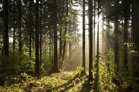 Coniferous forest backlit by the rising sun on a foggy spring day Stock Photo - 14314169