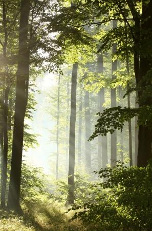 Das Sonnenlicht tritt in den Laubwald an einem nebligen Morgen nach dem regen Standard-Bild
