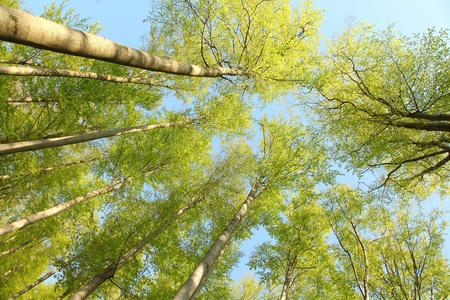 Tree canopy in spring beech forest against the blue sky photo