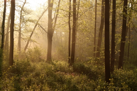 deciduous woodland: Misty spring forest illuminated by the rising sun  Photo taken in May Stock Photo