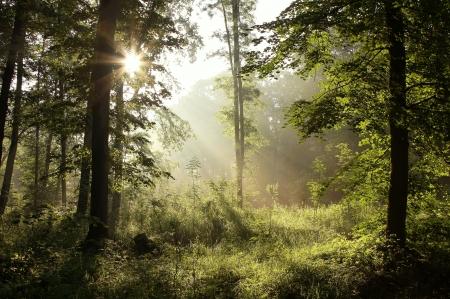 foresta: Foresta di primavera dopo la pioggia con querce retroilluminati dal sole del mattino