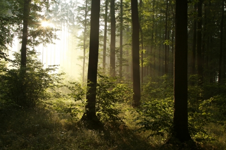 deciduous woodland: Rising sun falls into the misty forest in the summer morning