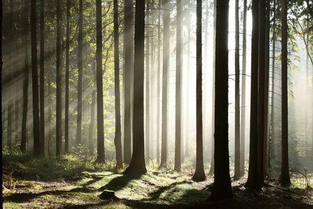 misty forest: Sunlight entering autumn coniferous forest on a misty morning
