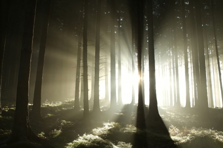 Sunlight entering the coniferous forest on a misty autumn morning Stock Photo