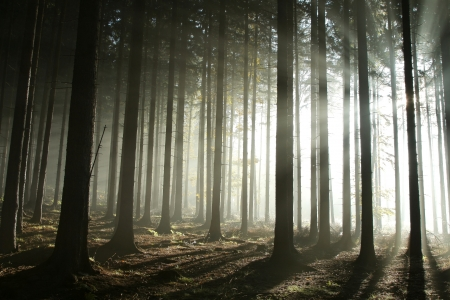 Bright light entering coniferous forest on a misty autumn morning