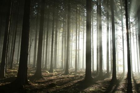 Helles Licht, das in Nadelwald auf einem nebligen Herbstmorgen