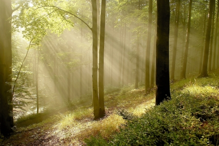 Misty autumnal forest with beech trees backlit by the morning sun