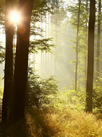 Sunlight enters the deciduous forest on a misty morning