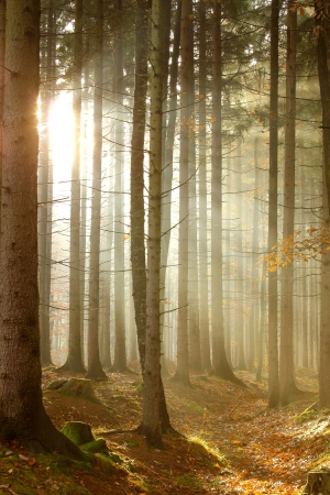 Coniferous forest lit by the morning sun on a foggy autumn day Stock Photo