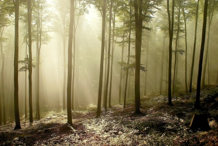 deciduous woodland: Misty autumnal forest with beech trees backlit by the morning sun