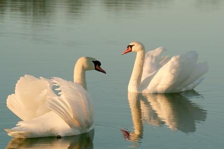 Cisnes rom�nticos en el lago en la salida del sol Foto tomada en diciembre de Foto de archivo