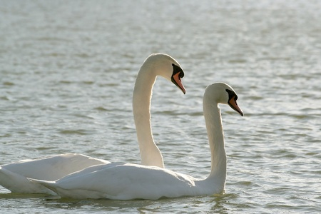 Romantic swans on the lake in the rays of the afternoon sun photo